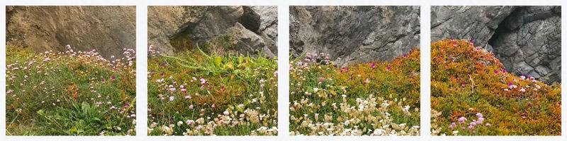 Mullion-cove-wild-flowers-st-ives-cornwall