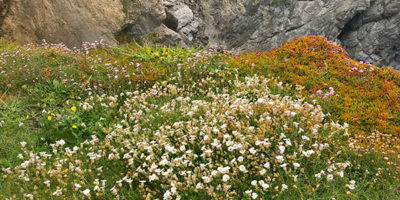 coastal-flowers-explore-cornwall