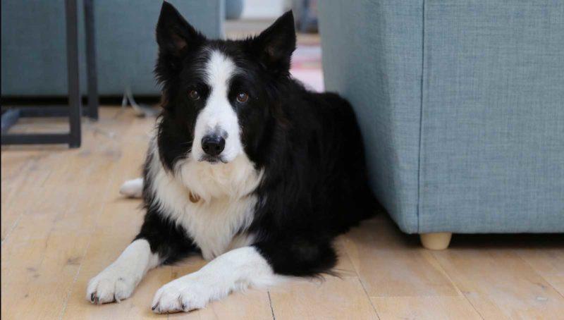 Ben the dog in dog friendly cottage