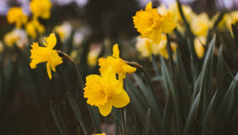March breaks st ives cornwall daffodils spring